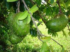 """times stronger killer of CANCER than Chemo"""". do share it. can save many lives, fill up hopes and build confidence in the patients. The Sour Sop or the fruit from the graviola tree is a miraculous natural cancer cell killer times stronger than Chemo. Natural Cancer Cures, Natural Cures, Natural Healing, Healing Herbs, Medicinal Herbs, Ovarian Cyst, Cancer Treatment, Natural Treatments, Health Tips"""