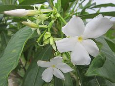 Bintaro Flowers