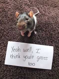pet rat's reply to being called gross. A pet rat's reply to being called gross.) Ratties are smart and wonderful creatures!A pet rat's reply to being called gross.) Ratties are smart and wonderful creatures! Baby Animals, Funny Animals, Cute Animals, Animal Pictures, Funny Pictures, Funny Images, Funny Pics, Fancy Rat, Cute Rats