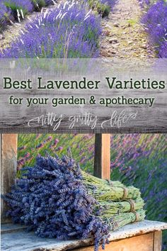 Find lavender varieties best suited to your garden and home apothecary. English French Spike Spanish and Lavandin all offer their unique lavender aromas flavors and visual appeal to to an herbalist's garden! Organic Gardening, Gardening Tips, Vegetable Gardening, Indoor Gardening, Lavender Varieties, Types Of Lavender Plants, Lavender In Garden, English Lavender Plant, Growing Lavender