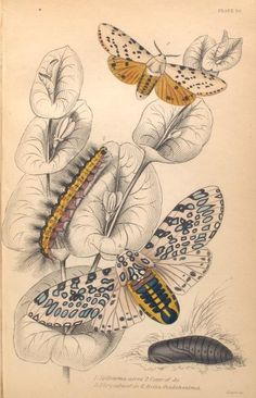 1. Spilosoma acrea; 2. Cater of do; 3. Chrysalis of do; 4. Arctia Oculatissima.