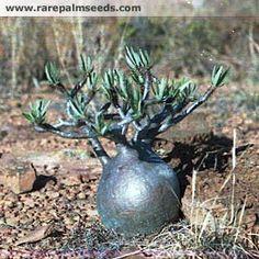 Pachypodium rosulatum subsp. gracilius - Samen kaufen bei rarepalmseeds.com