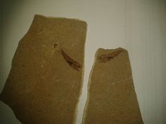 Eomyctophum.sp., Oligocene, Menilite Beds, Carpathian Mountains, Poland; Size: Fossil fish is 3,4 cm in lenght; Photo © Albin48