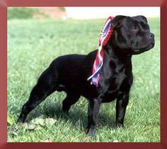 Staffordshire Bull Terrier nicknames: Staffie, Stafford, Staffy or Staff.