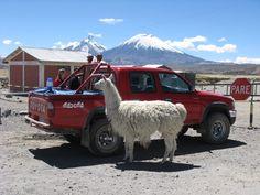 Lama Lolli an der chilenisch-bolivianischen Grenze. Es hat immer Spaß mit den Touristen ... und die Grenzer haben auch Spaß, wenn sie die Szenerie beobachten ... #chile #nationalpark #lauca #lama #südamerika ©Konstanze Pfeiffer
