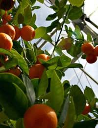 Tips on Growing Fruit in a Greenhouse: Grapes, Peaches, Nectarines, and Citrus