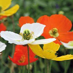 Poppy 'Summer Breeze Mixed' Papaver nudicaule, Arctic Poppy, Icelandic Poppy