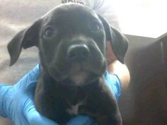 *WILBUR-ID#A676796    Shelter staff named me WILBUR.    I am a male, black Pit Bull Terrier.    The shelter staff think I am about 2 months old.    I have been at the shelter since Oct 07, 2012.