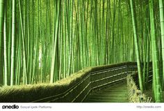 Bambu Ormanı - Kyoto, Japan