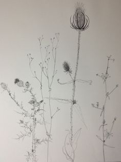 Plant drawing Sylvia Wadsley