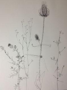 Plant drawing Sylvia Wadsley
