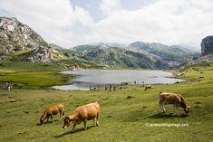 Los tres macizos que conforman el Parque Nacional de los Picos de Europa constituyen una de las maravillas paisajísticas y naturales más sobresalientes de España. También una de sus joyas más delicadas. Estos fueron los dos impulsos que movieron a un grupo de visionarios hace ahora 100 años para lograr convertirlo en nuestro primer parque nacional. Nos acercamos hasta uno de sus rincones más emblemáticos, los Lagos de Covadonga, y contamos qué más cosas se pueden ver.