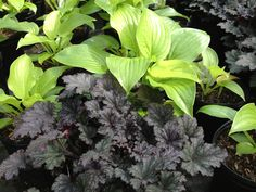 Hosta 'Guacamole' and Heuchera 'Frosted Violet'