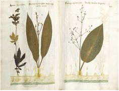 Herbarium Vivum Late 16th-early 17th century manuscript herbarium probably Hieronymus Harder