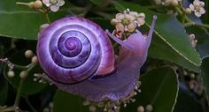The violet snail spends its life drifting on the ocean surface in warm seas, feeding on jelly fish. Surprisingly it starts its life as a male and changes to a female over time. Its shell is smooth and violaceous, with a paler upper surface. The height of its shell measures up to 1.5 inches in height and 1.6 inches in width.