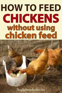 An in-depth look at how to feed your homestead chickens without resorting to traditional chicken feed. Snacks For Chickens, What Can Chickens Eat, Raising Backyard Chickens, Keeping Chickens, Chickens And Roosters, Meat Chickens, Urban Chickens, Bantam Chickens, Backyard Farming