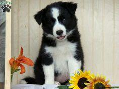 Beautiful little Border Collie