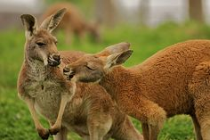 kangaroosred