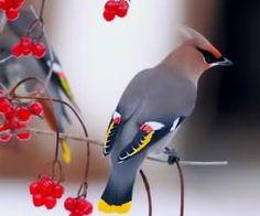 太平鳥 導讀:太平鳥屬小型鳴禽,頭部呈栗褐色,全身呈葡萄灰褐色,頭頂細長呈簇狀羽冠,鳴聲清柔,體態優美,數量眾多,特徵極明顯,本篇小編整理了,初次飼養太平鳥的13個提示,報給你知。