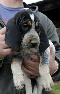 Bluetick Coonhound Dog / Grand Bleu de Gascogne