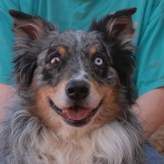 Bootz enjoys playing fetch with Frisbees and going on long walks.  He is an exceptionally handsome Australian Shepherd, 7 years of age, now neutered and debuting for adoption today at Nevada SPCA (www.nevadaspca.org).  Bootz is housetrained & crate-trained and compatible with dogs and kids.  His previous owner surrendered him and said there was 'not enough time' for him.