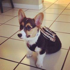 Husky Mix For Sale Pembroke Welsh Puppies