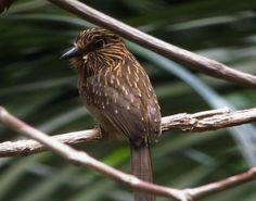 Barbudo-pardo (Malacoptila fusca)