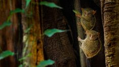 Check Details: Spectral tarsiers in a ficus tree in Tangkoko Batuangus Nature Reserve, Indonesia (© Ondrej Prosicky/Shutterstock)(Bing United Kingdom) Primates, Mammals, United Kingdom Image, Wildlife Day, Ficus Tree, Wallpaper Gallery, Art Competitions, Daily Photo, Nature Reserve