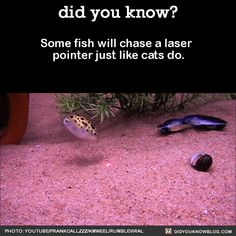 Some fish will chase a laser pointer just like cats do.  Source