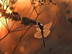 Avec la lumière des rayons du soleil, la libellule prend l'apparence d'une jolie fée - photo ©  Vyacheslav Mishchenko