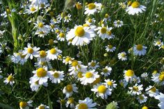 Chamomilla Chamomile, or more specifically, typically the tops gathered in the early stages of flowering, reduces cramping and spastic pain in the bowels and also relieves excessive gas and bloating in the intestines. It is often used to relieve irritable bowel syndrome, nausea, and gastroenteritis (what we usually call stomach flu). Chamomile is also an excellent calming agent, well suited for irritable babies and restless children. Moreover, most children tolerate its taste.