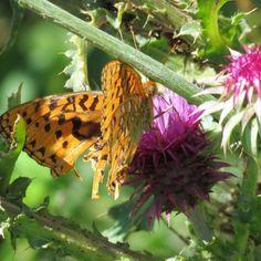 #butterflies Nokomis Fritillary photographed by Jeanette Klodzen at Otter Creek in Sevier County Utah http://ift.tt/2v4f0Wc http://ift.tt/2vn895v #insectagram #macro #flowers