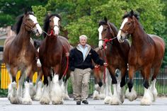 Bert Westbrook walks with 4 horses Clydesdale of the Budweiser in Baltimore - (AP Photo / Mel Evans) . Cuties.