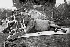 Colonel Patterson with Tsavo-Lion - Tsavo Man-Eaters - Wikipedia, the free encyclopedia