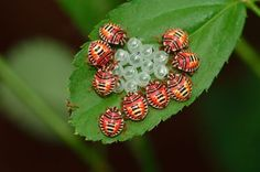 Beetles around their eggs Photo by Asavari Singh -- National Geographic Your Shot