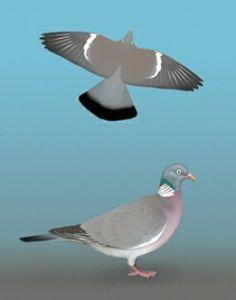 Grzywacz (Columba palumbus) [53]rodzina: gołębiowate  Długość ciała: 40-42 cm Duży gołąb, większy od gołębia miejskiego. Sylwetka wyróżnia się małą głową z wydatną piersią i długim ogonem. Ubarwienie popielatoniebieskie z białą plamą na bokach szyi i biał