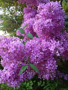 """Beautiful Lilac's"""
