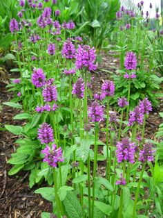 An entirely underused perennial is the wood betony (Stachys officinalis) which really is a tough and durable plant with plenty of visual appeal. The variety 'Hummelo' can be seen above and below andis one of the most popular varietal selections out on the market (sometimessold as Stachys monieri). See further below for my favorite:, Read More