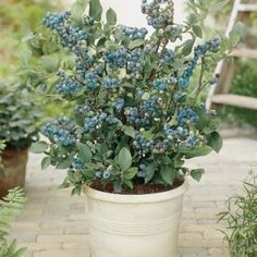 Jersey Blueberry: MATURE SIZE: 6 feet tall x 6 feet wide FLAVOR: sweet, full blueberry flavor FRUIT SIZE: large and firm ZONE: 4 - 9 BLUEBERRY TYPE: Northern highbush POLLINATION: plant with another blueberry variety for best crop production. Jersey blueberry is also an attractive landscape shrub, with striking orange fall color.