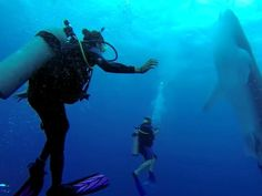 Group of divers has a close encounter with a majestic whale shark (video)