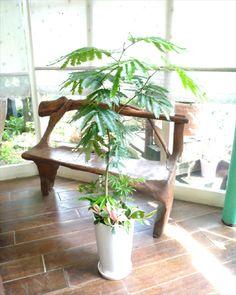 インテリア観葉植物ギフト ~お日様大好きエバーフレッシュ~ミニ観葉アレンジ