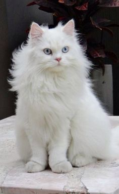 gorgeous white blue eyed kitty