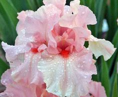 Lenora Pearl Bearded Iris - REBLOOMER