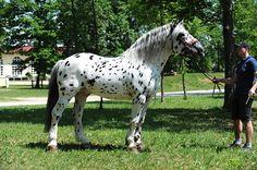 HOCHTRAUN VULKAN XVIII, Noriker stallion