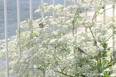 """""""St Catherine's Lace with Bushtit birds inside"""" California native, host plant (in southern Ca) and source of nectar for a variety of butterflies, including California Blues and Hairstreaks. Drought tolerant, low-average water, full sun, blooms april to fall. It is a buckwheat, of which there are many -and they all seem to attract butterflies (from what I've seen so far). -On the UC Davis arboretum's all star plant list http://arboretum.ucdavis.edu/arboretum_all_stars.aspx"""