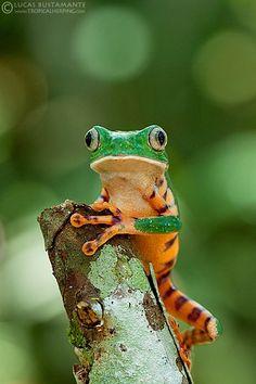 Beautiful Tiger-striped Leaf Frog
