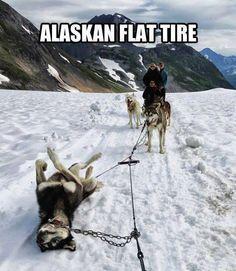 Funny dog sled Alaska puppy
