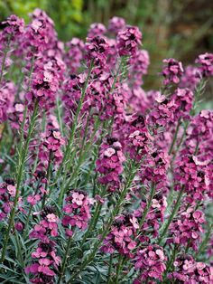 'Bowles' Mauve' Erysimum Flowers for Weeks and is beneficial to the good insects in nature.