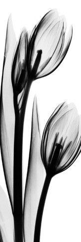 "Tulip in Black and White II - Art Print 6x18""  $17.99"