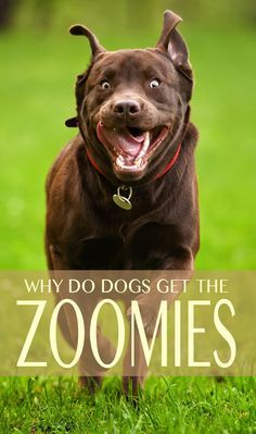 The dog zoomies explained. Find out why dogs get them and what you should do.
